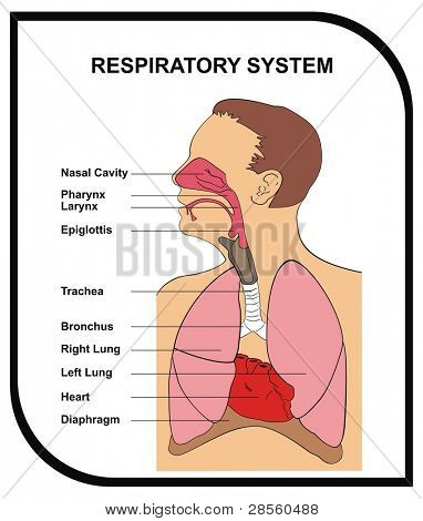 VECTOR - Respiratory System