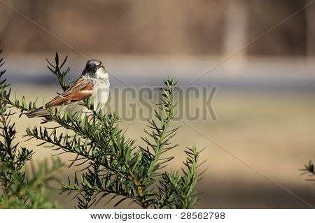 Male Sparrow Perched in a Bush
