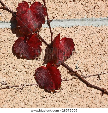 Red Leaves Climbing a Wall