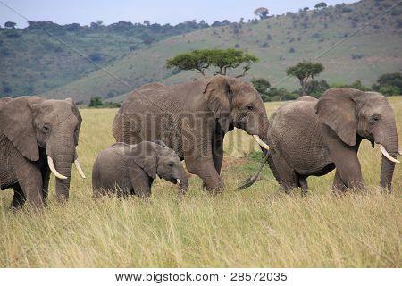 elephants waking in Kenya