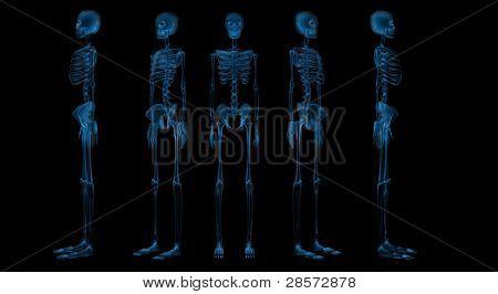 Human Skeletal