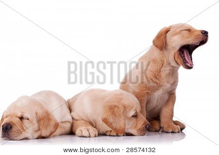 three adorable little labrador retriever puppies, two sleeping and one barking on wite background