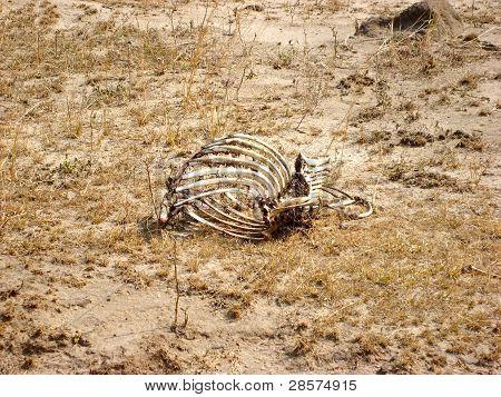 Bones on parched grassland