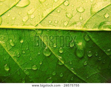 Leaf Drop Green