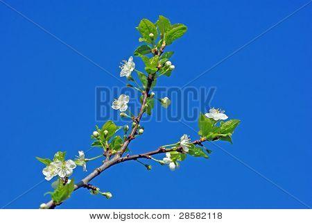 Cherry blossom against blue sky