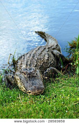 Basking American Alligator