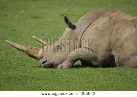 Rhino Sleeping