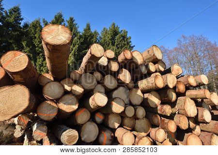 poster of Wooden Logs. Timber Logging In Autumn Forest. Freshly Cut Pine Tree Logs