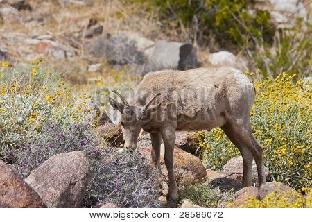 Young Desert Bighorn Sheep In Anza Borrego Desert.