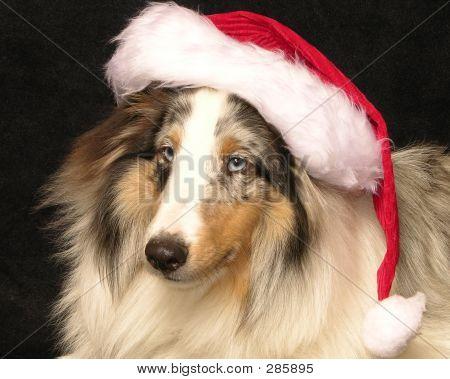 Sheltie Santa
