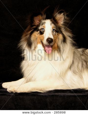 Smiling Sheltie