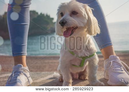 poster of Dog On The Beach. White Maltese Dog Closeup. Happy Dog  Domestic, Pedigreed.