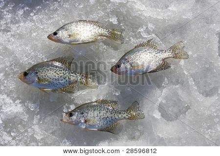 Crappie Catch On Ice