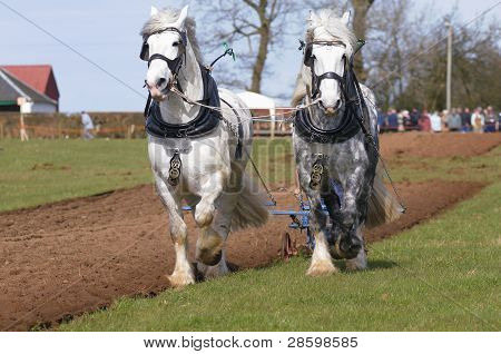 Shire Horses At A Ploughing Match
