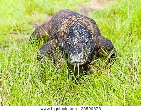 Portrait of  Komodo Dragon (Varanus komodoensis). Rinca