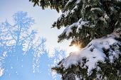 Winter Sun Through The Snow-covered Fir Branches. Winter Fir Forest. Silhouettes Of Fir Trees. Spruc poster