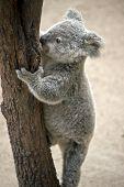 The Joey Koala Is Climbing Down A Tall Tree poster