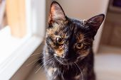 Cute Tortoiseshell Color Cat Sitting On Window Sill. Fluffy Pet Staring In Camera. Pet Adoption Of N poster