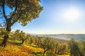 Maremma Countryside Panoramic View, Olive Trees, Rolling Hills And Green Fields. Sea On The Horizon. poster