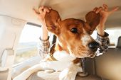 Image of young woman playing around with her brown pedigree puppy while riding in car poster