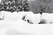 Hedge Covered Of Heavy Newly Fallen Snow. Winter In The Surrounding. poster