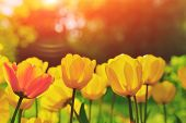 Group Of Colorful Tulip. Red, Pink, Yellow Coral Flower Tulip Lit By Sunlight. Soft Selective Focus, poster
