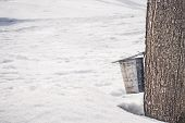 Collecting Sap Into A Pail Attached To A Big Maple Tree, Surrounded By Melting Snow. Maple Syrup Pro poster