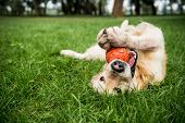 Selective Focus Of Golden Retriever Dog Playing With Rubber Ball On Green Lawn poster
