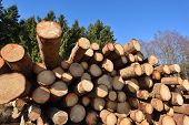 Wooden Logs. Timber Logging In Autumn Forest. Freshly Cut Pine Tree Logs poster