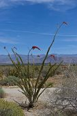 stock photo of anza  - Ocotillo cactus in bloom in Anza Borrego Desert State Park - JPG