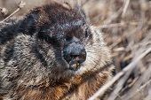 picture of groundhog  - A Close up of a Groundhog