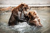 Two Brown Bears (ursus Arctos Arctos) Fighting In The Water. Teal And Orange Photo Filter. poster