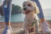 Dog On The Beach. White Maltese Dog Closeup. Happy Dog  Domestic, Pedigreed. poster