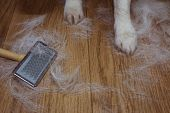 Shedding Hair Dog Or Cat Bacgrounds During Molt Season, After Its Owner  Brushed Or Grooming The Pet poster