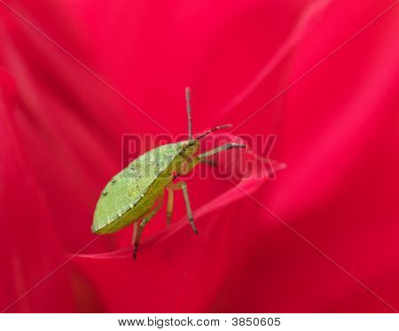 Green Bug On Red