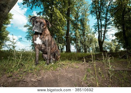 Boxer Dog Sitting In Countryside