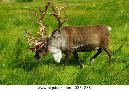 Caribou Trek