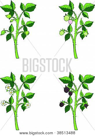 Blackberry growth phases