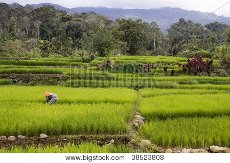 Ricefields of Sumatra