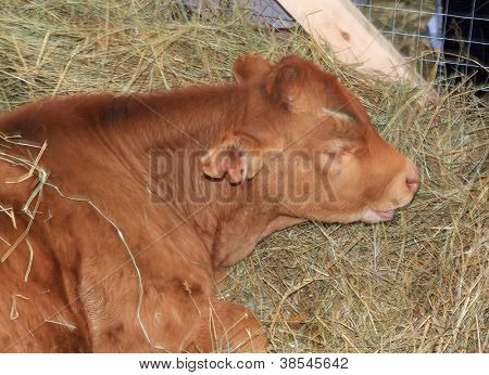 redhead calf on dry hay