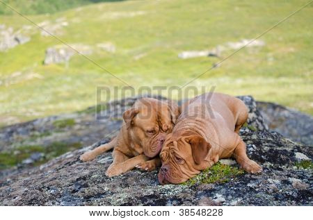 Two dogs lying on stones in the mountains, Norway