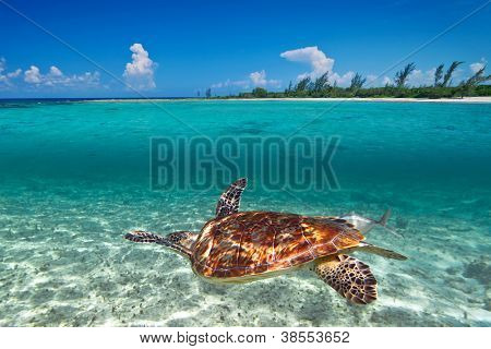 Green turtle in Caribbean Sea scenery of Mexico