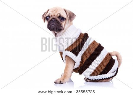 adorable pug puppy dog sitting and looking into the camera on white background. dressed little mops puppy wearing clothes