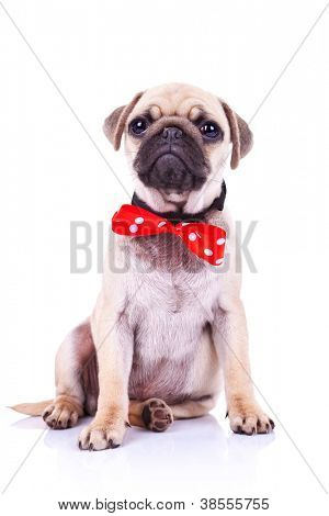 cute pug puppy dog with red bowtie sitting and looking into the camera