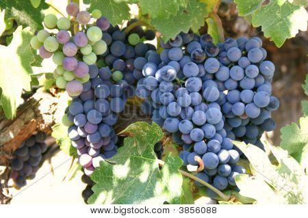 Grape Clusters