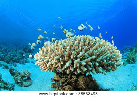 Tropical Fish on coral reef: Bluegreen Chromis and Acropora Coral