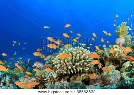 Tropical Fish on coral reef: Lyretail Anthias