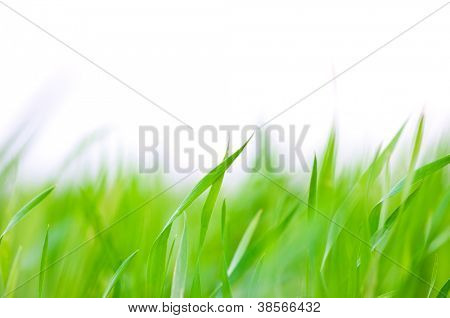 Grass background - selective focus.  Wheaten field