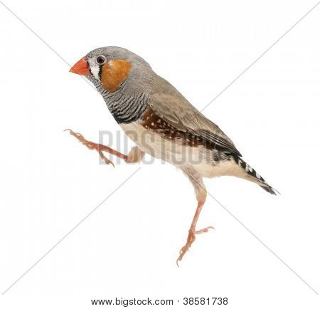 Zebra Finch jumping, Taeniopygia guttata, against white background