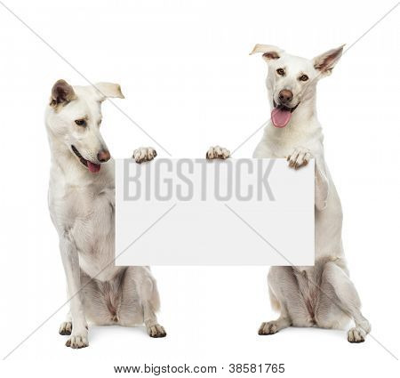 Two Crossbreed dogs sitting and holding white sign against white background